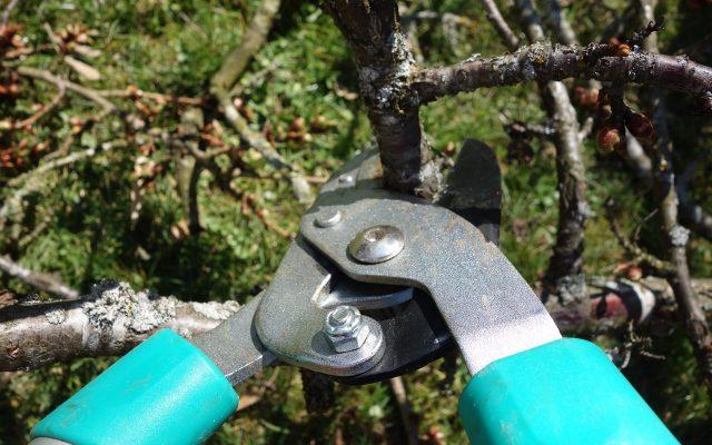 Przycinanie drzewa owocowego